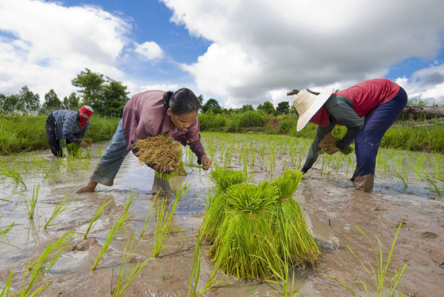 Issan hard work in rice fields